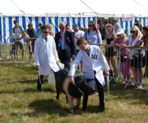 Calf Great Eccs Show
