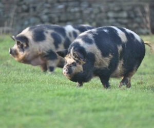 Old holly pigs-in-farm