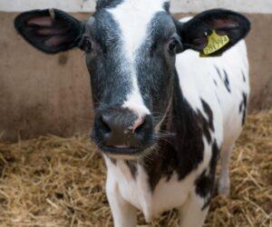 Cobble Hey cow